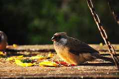 Aberdare Cisticola (jhderojas) Tags: kenia bird