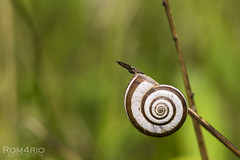 Snail (Rom4rio Photography) Tags: nikon nikkor natura nature color campo d3100 erba grass iarba allaperto outdoor melc chiocciola snail lumaca verde macro micro amatore amateur amator green bokeh profonditdicampo prato naerliber
