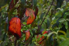 ''Lo que queda del otoo'' (Vctor Nez) Tags: hojas hoja rojo red otoo old pasado estacin naturaleza natural nature puertomontt chile
