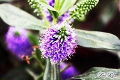 morada (paulareyesmalaga) Tags: flor morada macro