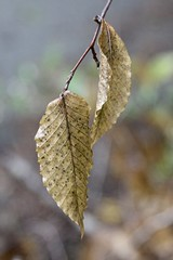 Dead leaves (Read2me) Tags: autumn brown pastprime yellow two pregamewinner thechallengefactoryweeklythemeaward dead challengeclubwinner friendlychallenges gamewinner flickrchallengewinner x2 15challenges challengeyouwinner