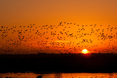 Sunset Flight (juliereynoldsphotography) Tags: sunset birds geese martin flight mere