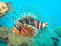 Lion Fish, Long Dong Bay, Taiwan