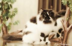 (Aljazi Al-Akoor) Tags: cat aljazi
