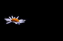 When I Sad, When I happy, When we fight, When we love, flower save me (Sarah C*) Tags: flowers white black flower macro love yellow petals dof bokeh minimal petal daisy marigold