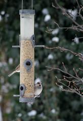 Bird's restaurant (osto) Tags: winter bird denmark europa europe sony zealand dslr scandinavia danmark a300 sjlland  nrum osto rudersdal november2010 alpha300 osto