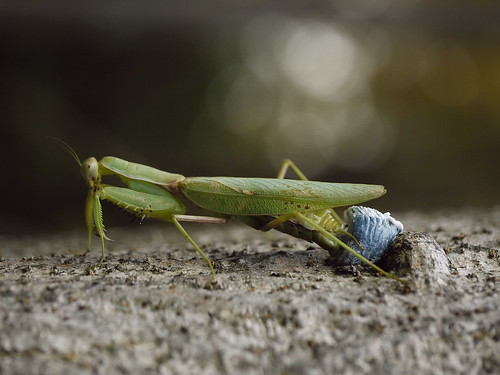 Praying Mantis Laying An Ootheca (Egg Case)