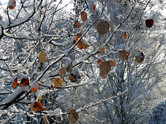Last of the autumn leaves (nican45) Tags: york autumn winter snow tree fall leaves canon campus leaf university artistic powershot heslington sx210 canonites sx210is