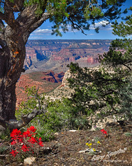 Grand Canyon Wilderness (Gary Randall) Tags: arizona desert grandcanyon canyon wildflower indianpaintbrush garyrandall dsc12092