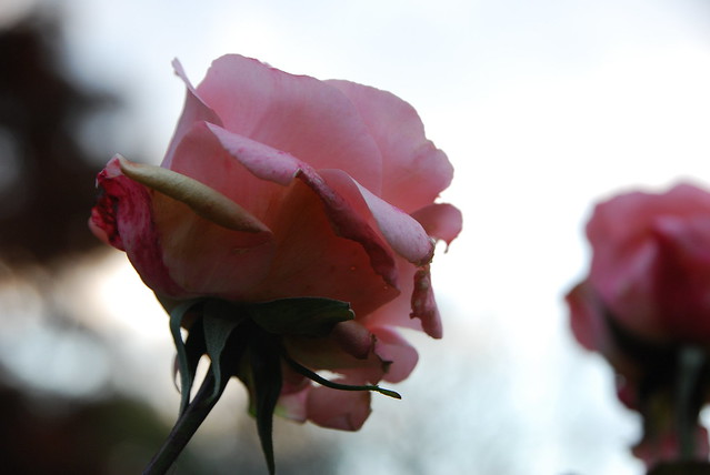 a rose at Regent's Park