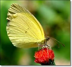 As borboletas viro at voc... (Marina Linhares) Tags: butterflies borboletas nikond3000
