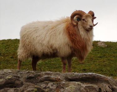 norwegian-sheep