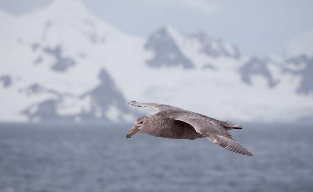 Southern Giant-Petrel passes in front of Elephant Island