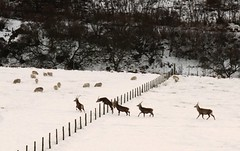 deer (Joe Dunckley) Tags: uk snow animals scotland highlands deer sutherland helmsdale