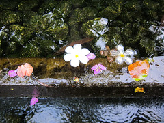 Flowers in a water flow (Blasq) Tags: flowers bali water pool leaves canon reflections indonesia flow hotel s90 padma