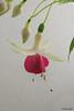 Fuchsia 'Dancing Bloom' (pennyeast) Tags: flower garden botanical fuchsia capetown onagraceae pae papaalphaecho