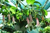 Fuchsia 'Rijs 2001' (pennyeast) Tags: flower botanical fuchsia capetown papaalphaecho