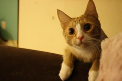 Calm before the storm (lucidlad) Tags: family pink pet baby cute male love beautiful animal cat fun nose happy crazy furry kitten feline funny fuzzy young kitty fast whiskers gato blonde curious paws playful furball brash energetic