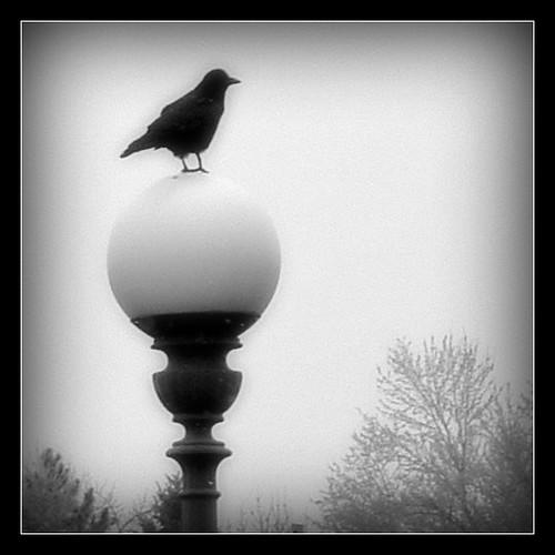 morning crow