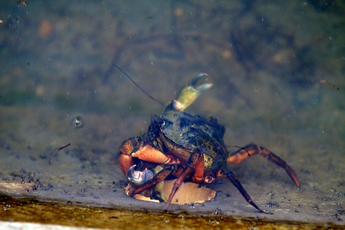 Crab Fight!
