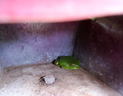 28 A Frog (Tanya in BNE) Tags: roma animal mailbox work found australia frog qld find ribbit 2010 babycam roma2010 romaqld roadtoroma niceplacetovisitdontlivethere