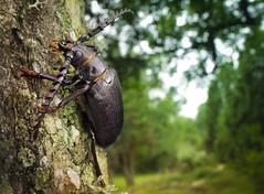 The Tanner (johnhallmen) Tags: macro insect nrm land coleoptera cerambycidae longhornedbeetle nikkor28mmf28 canon5dmkii tokinaatxpro100mmf28 canon270ex nikone2extensiontube