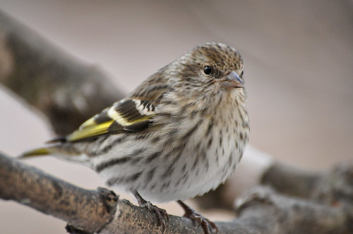 Pine Siskin by Putneypics, on Flickr