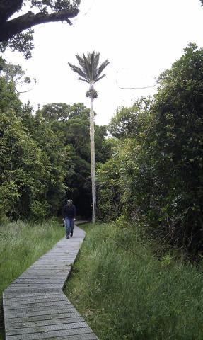 Nikau Palm reserve