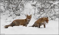 Unique Moment (Alex Verweij) Tags: winter two snow holland netherlands canon unique sneeuw fox 7d moment twee vos vossen uniek alexverweij bestofblinkwinners