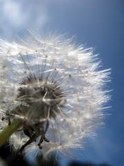 IMG_0335 (Est.1986) Tags: wishingflower