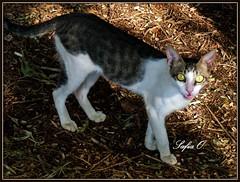 Aswan Botanical Garden, Aswan, Egypt (Saf') Tags: africa fauna cat chat south egypt middleeast aswan sud egypte afrique  saf jardinbotanique faune kitchenersisland assouan  moyenorient upperegypt aswanbotanicalgarden geziretannabatat  hauteegypte  southernegypt panasoniclumixdmcfz28   safiaosman