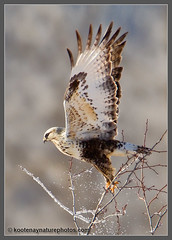Rough-legged Hawk - kootenaynaturephotos.com