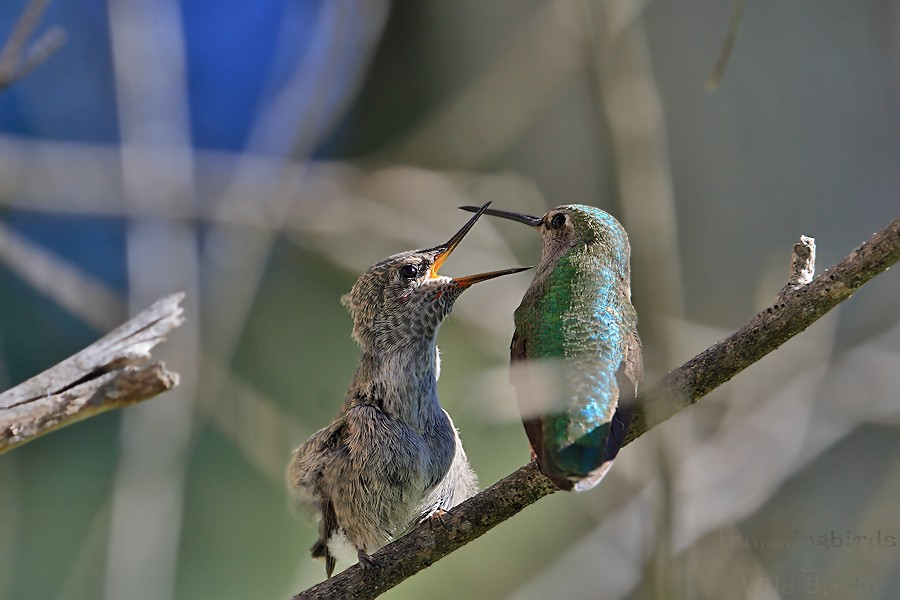 Anna's Hummingbird nest 0222101-2