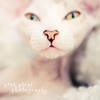 Kittens are angels with whiskers~ (Pink Pixel Photography (f.k.a. Sunny)) Tags: white nose kitten soft katze blurr 10weeksold sphynxcat haarlos misssunnypeaches