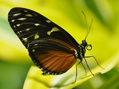 Longwing species butterfly (Tiger Longwing, I think)... December 2010 (toryporter (back... never catching up!)) Tags: orange white newyork black macro green nature yellow butterfly insect colorful proboscis 2010 yellowgreen heliconiushecale butterflyconservatory potofgold tigerlongwing coth greatphotographers supershot bej specanimal abigfave anawesomeshot nikond90 105mmf28vrlens coth5 toryporter orangeblackwhitebutterfly cothblog