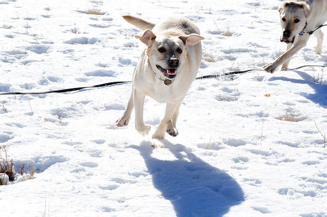 Egypt running full speed in the snow with Bob chasing after her