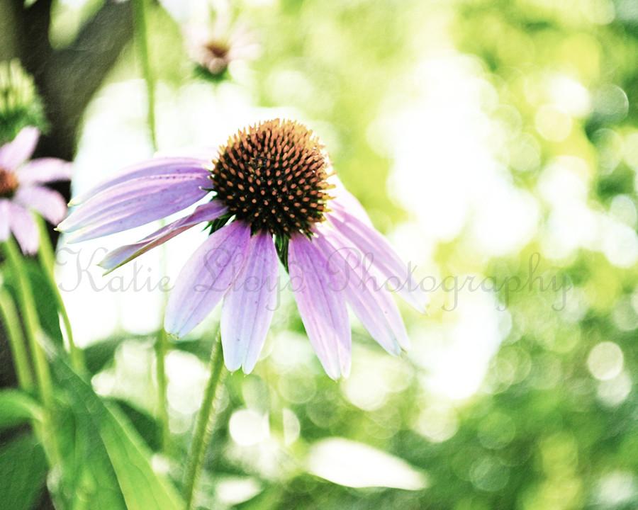 Echinacea-2---8x10-wm