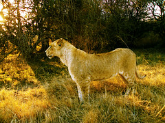 lion light (David Sobel) Tags: light sunset pordosol sun animal fauna southafrica king sony lion mamma rei johannesburg lionpark leoa leao africadosul gauteng mamfero davidsobel