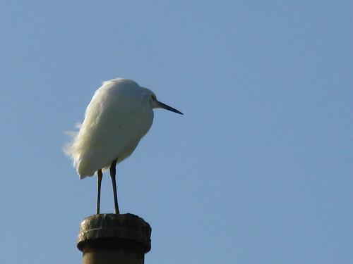 Snowy egret?