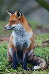 Fox Study 2 by Peter G Trimming, on Flickr
