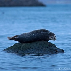 Thorin halli - Thors seal (ikithule) Tags: winter nature water animal iceland exhibition seal talvi vesi halli luonto ultimathule nayttely elain ikithule thorshofn