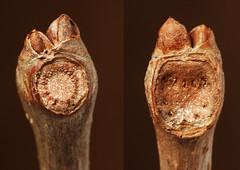 opposed scars from same twig, virginia creeper (ophis) Tags: vitaceae virginiacreeper parthenocissus parthenocissusquinquefolia