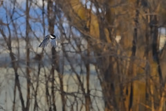 Chickadee Flight DSC_9175