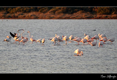 'Alyki Lagoon' Series #1 (Flamingo Love) (Manos Eleftheroglou (Photography)) Tags: pink winter sunset sea lake colour bird love film nature ecology beautiful birds landscape island greek nikon asia europe flamingo aegean scenic hellas natura scene lagoon greece migratory aquatic migration minor griechenland soe settlement wetland samos ecological 2011 aliki blueribbonwinner psiliammos supershot ammos psili  mywinners abigfave alyki   d5000 anawesomeshot aplusphoto   flickraward   platinumheartaward betterthangood goldstaraward  artofimages    nikond5000 tripleniceshot mygearandmepremium mygearandmebronze mygearandmesilver mygearandmegold makisamos