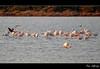 'Alyki Lagoon' Series #1 (Flamingo Love) (Manos Eleftheroglou (Photography)) Tags: pink winter sunset sea lake colour bird love film nature ecology beautiful birds landscape island greek nikon asia europe flamingo aegean scenic hellas natura scene lagoon greece migratory aquatic migration minor griechenland soe settlement wetland samos ecological 2011 aliki blueribbonwinner psiliammos supershot ammos psili τοπιο mywinners abigfave alyki θαλασσα ελλαδα d5000 anawesomeshot aplusphoto αιγαιο σαμοσ flickraward φυση πουλια platinumheartaward betterthangood goldstaraward λιμνη artofimages φλαμινγκο υδροβιοτοποσ αλικη nikond5000 tripleniceshot mygearandmepremium mygearandmebronze mygearandmesilver mygearandmegold makisamos αποδημητικα