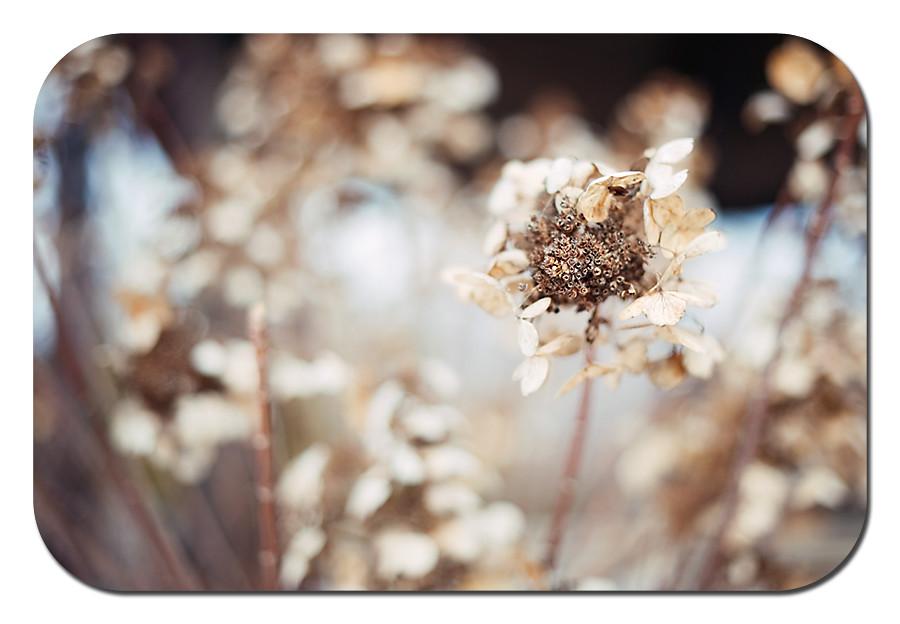 hydrangea color 1 web