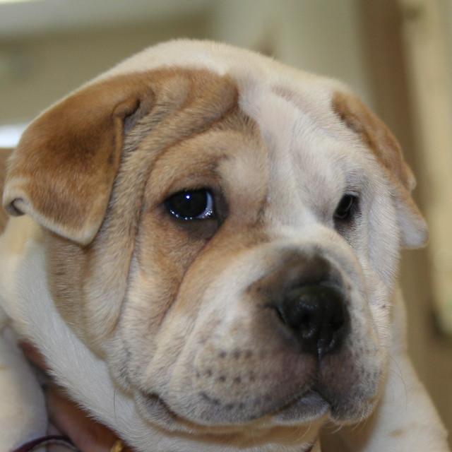 Puppy - Bulldog by fallsvetclinic