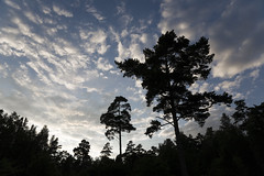 080703-2291kbhs (kbhsphoto) Tags: trees light summer sky cloud tree silhouette pine night clouds sweden silhouettes pines feathery whitenight northernhemisphere zenfolio