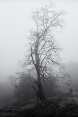 Tree in Winter Fog (StefanB) Tags: california morning winter mist tree nature monochrome fog delete9 outdoor hiking sanjose g1 save10 geotag 2011 fav10 1445mm savedbydeletemeuncensored almadenquicksilver almadenquicksilvercountypark flvonmirikr