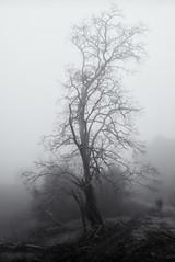 Tree in Winter Fog (StefanB) Tags: california morning winter mist tree nature monochrome fog delete9 outdoor hiking sanjose g1 save10 geotag 2011 fav10 1445mm savedbydeletemeuncensored almadenquicksilver almadenquicksilvercountypark flvonmirikr